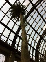 Madagascar Palm