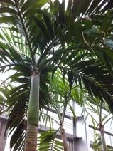 Alexander Palm - East Austrailia