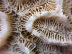 Twisty brain coral (macro)